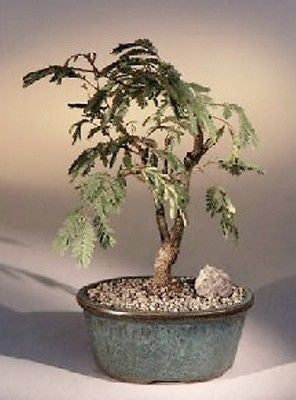 "Mimosa Flowering Bonsai (leucaena glauca) Large Indoor Bonsai Tree 12 yrs old 18"" tall"