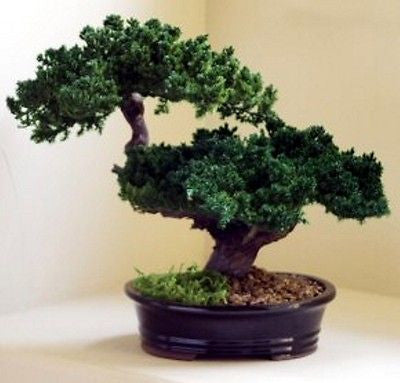 Preserved Monterey Double Tiered Bonsai Tree in Ceramic Pot Preserved Not Living