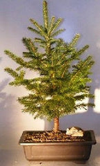 "Colorado Blue Spruce Bonsai Tree (picea pung) - 9 years 25 - 26"" Tall Outdoor Bonsai"