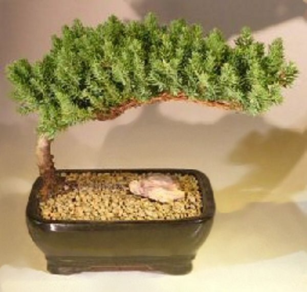 "Bonsai Juniper Medium <br>6 years old 7-8"" tall <br>Juniper Procumbens Nana <br>Free Drip Tray & Pebbles"
