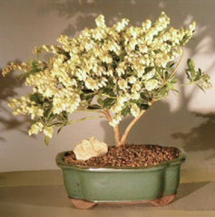 "Bonsai Andromeda <br>Flowering Outdoor Bonsai<br>pieris japonica variegata<br>9 yr 9""-11"" tall"