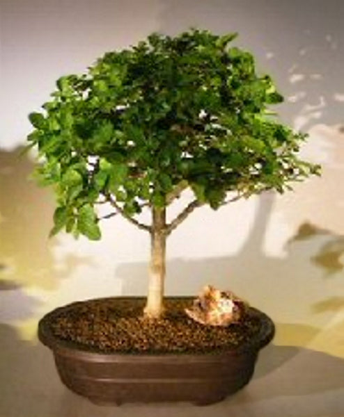 "Flowering Premna Bonsai Tree (premna obtusifolia) Indoor 18 yr 14"" - 16"" tall"