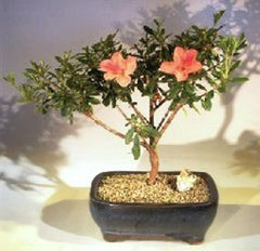 Bonsai Tropical Duc De Rohan Azalea southern indica Indoor 6 yr 12-13""