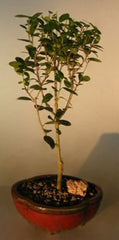 "Yaupon Holly 'Will Fleming' (ilex vamitoria) Outdoor Bonsai 4 yrs 16"" - 18"" Tall"