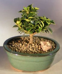 "Ilex Holly Bonsai Tree 'Rock Garden' - Small Outdoor Bonsai 4 yr 6-7"" T"