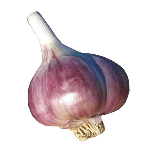Marbled Purple Stripe Garlic
