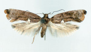 Carrion-Flower Moth