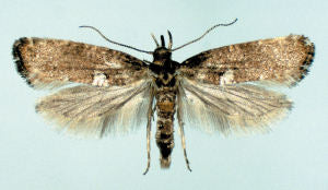 Adult Leek Moth