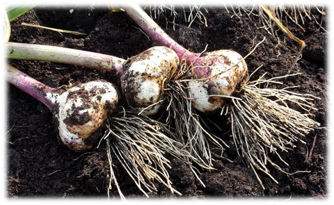 Fresh harvested garlic bulbs