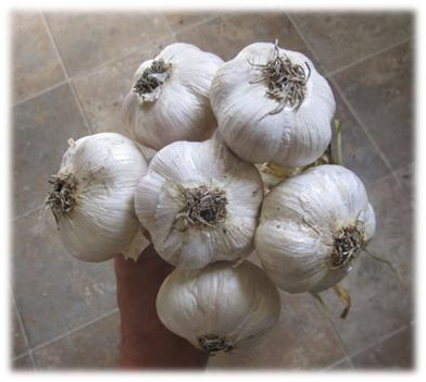 (1) Garlic Varieties
