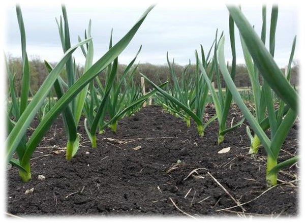 Garlic Plant Spacing