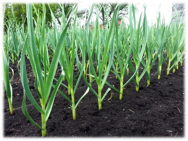 Garlic plants spaced out six inches apart