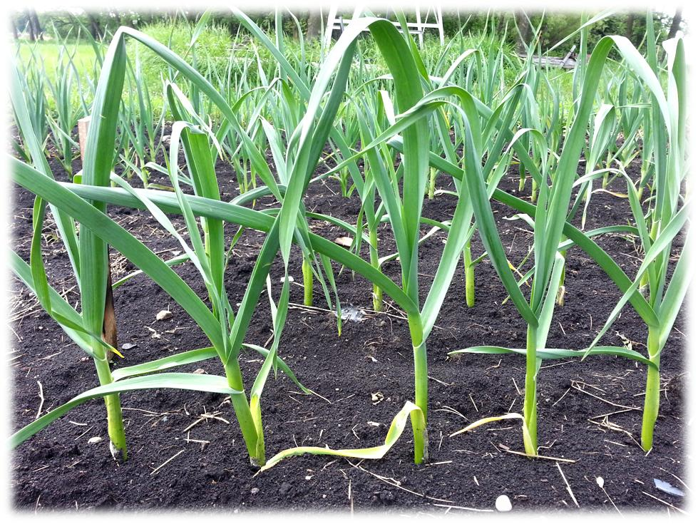Row of healthy garlic plants growing