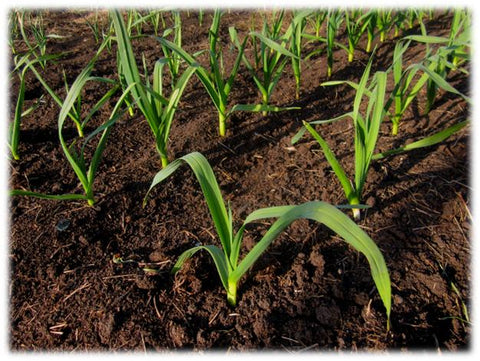 Softneck garlic plants emerged in spring