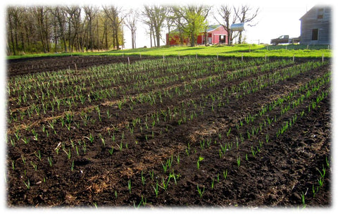 Young garlic plants growing in open field