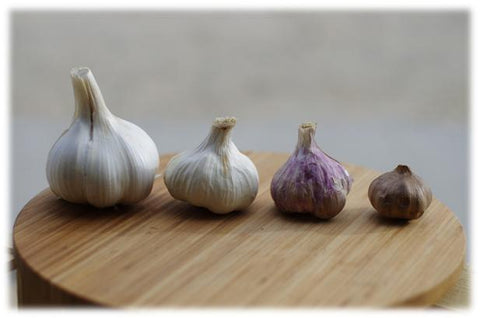 Different garlic varieties