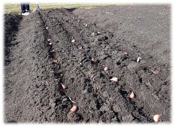 Planting garlic cloves on their sides in furrows