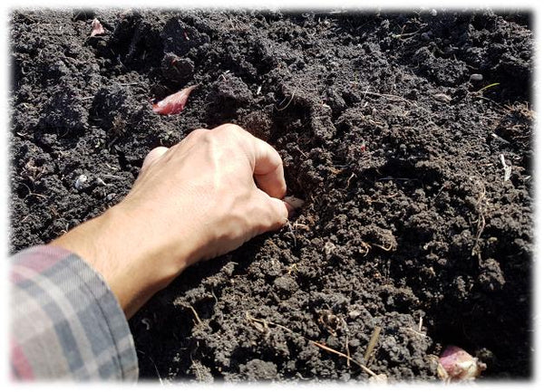 Planting garlic cloves in clay soil