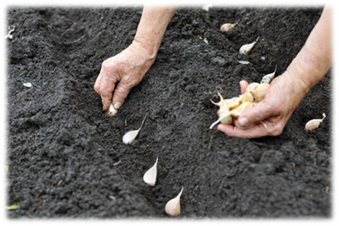 Planting garlic cloves in spring