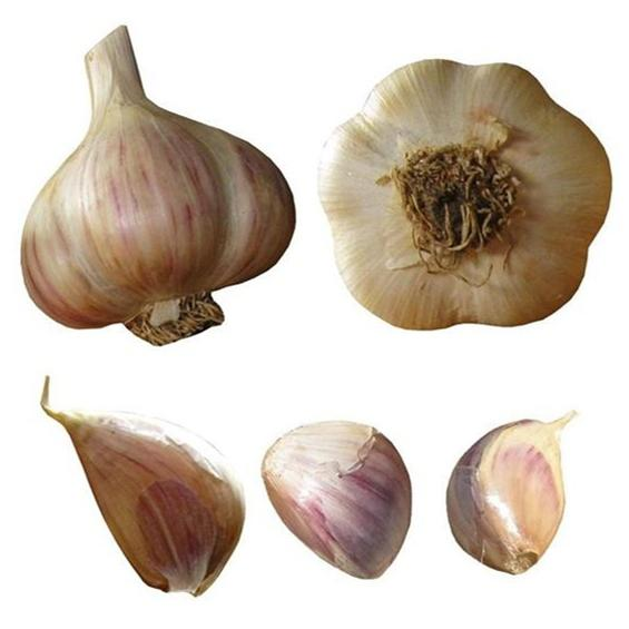 big boy garlic seed bulbs