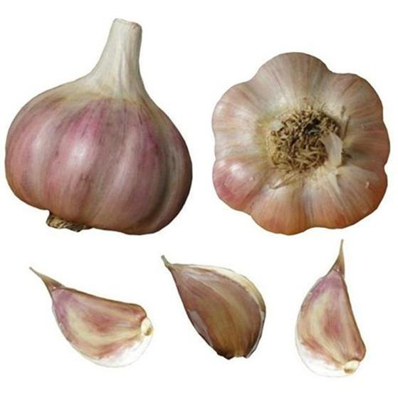 chesnok red garlic seed bulbs