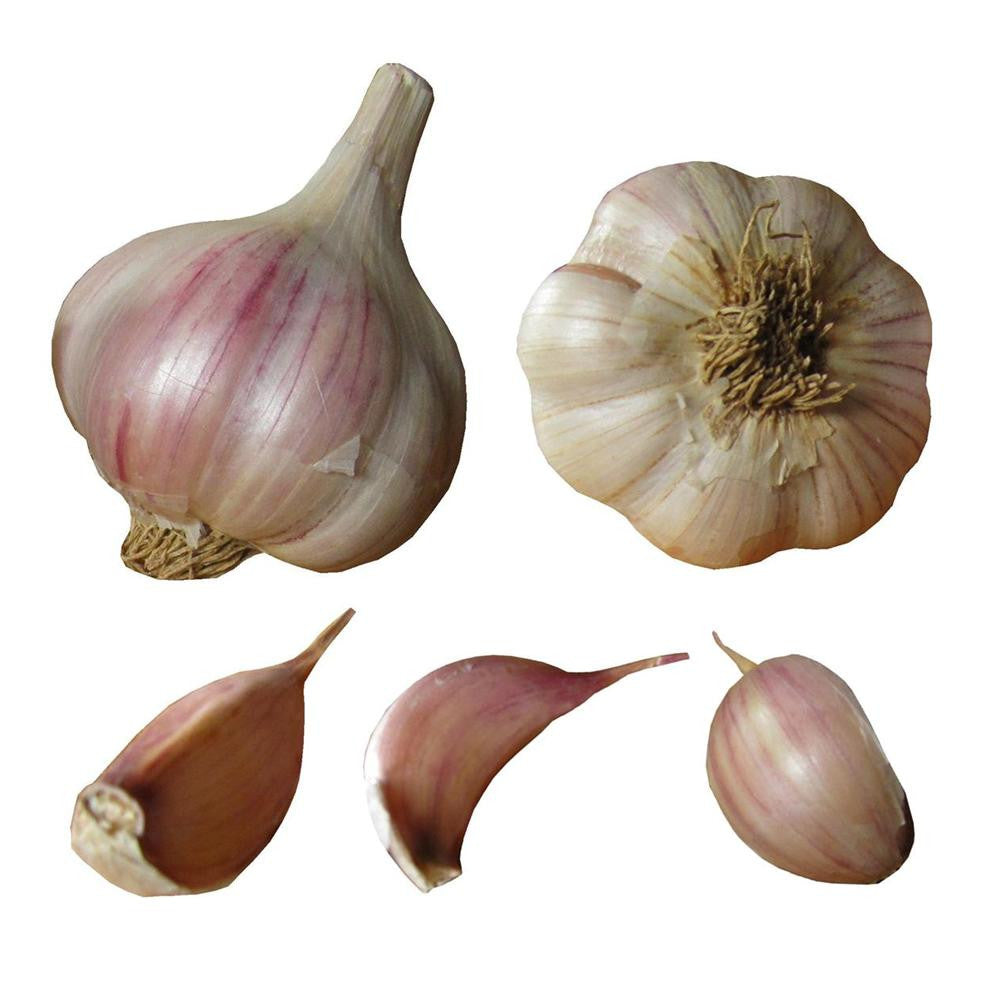 Italian purple garlic seed bulbs