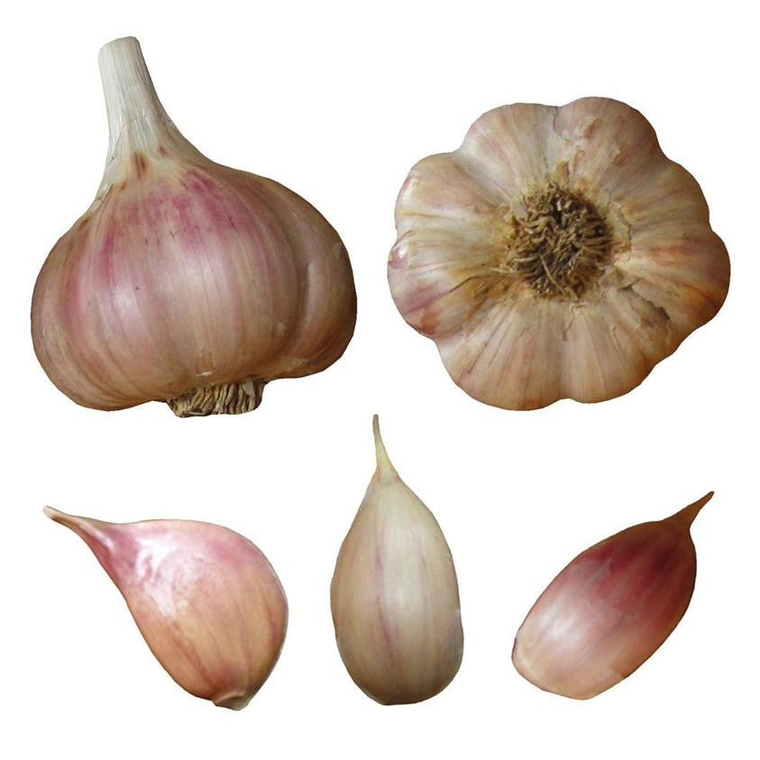 Spanish roja garlic seed bulbs