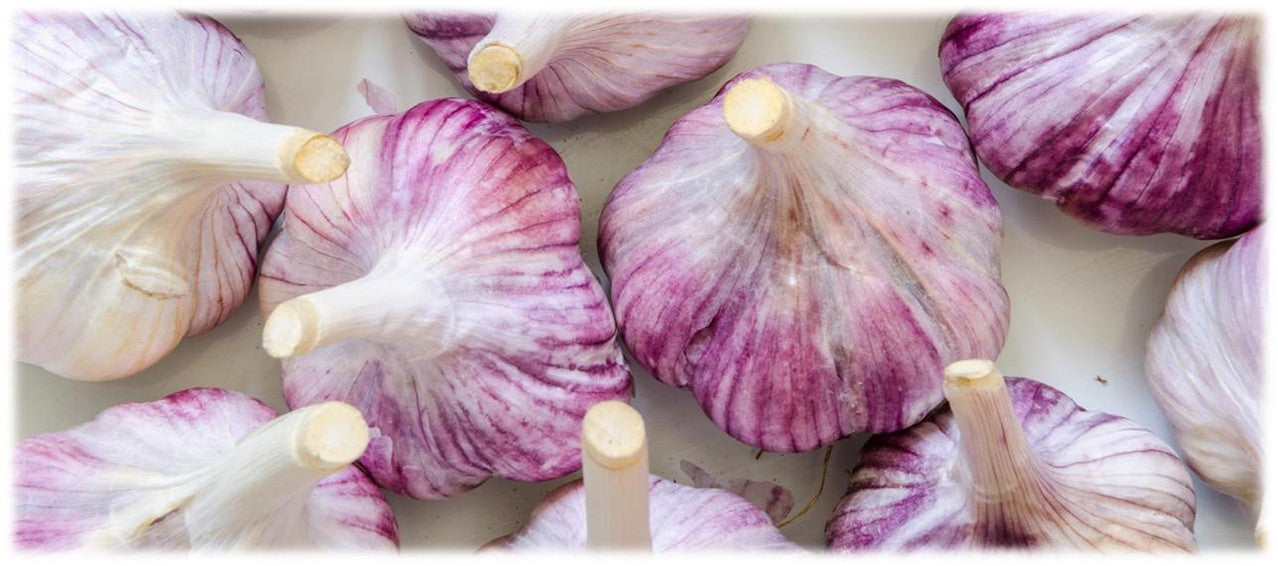 Growing Purple Stripe Garlic