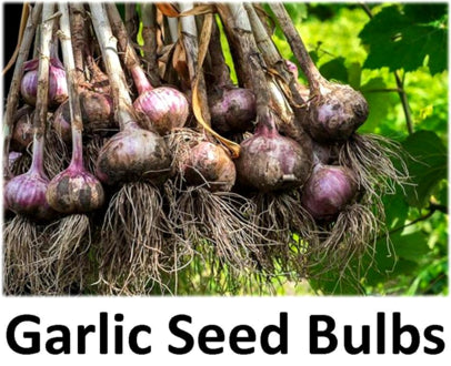 Garlic Seed For Sale