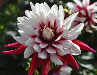 Dahlia in bloom in Charleston House Garden