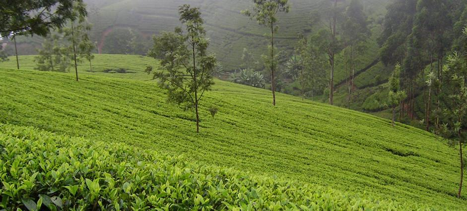 A Ceylon Tea Plantation