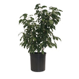 "10"" Ficus Midnight Bush"