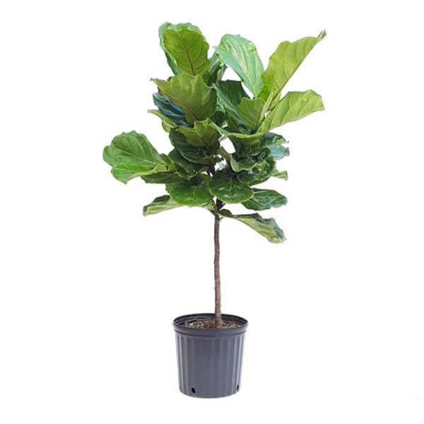 "14"" Ficus Lyrata Tree - Fiddle Leaf"