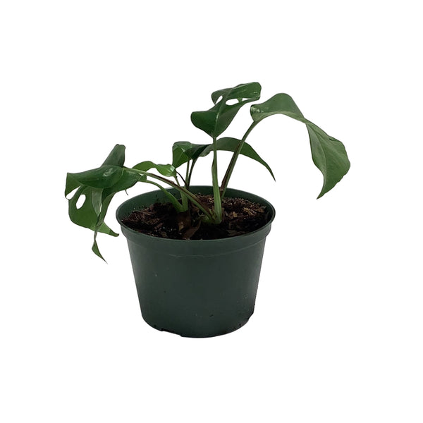 "6"" Philodendron Ginny"
