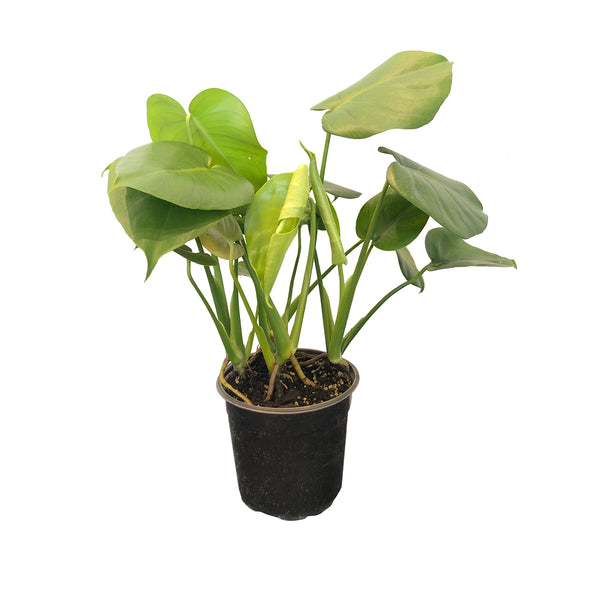 "6"" Philodendron Monstera"