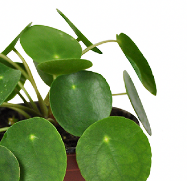 "4"" Pilea Peperomioides - Chinese Money Plant"