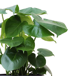 "8"" Philodendron Monstera"