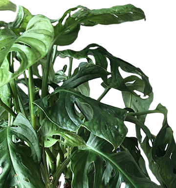 "8"" Philodendron Swiss Cheese"