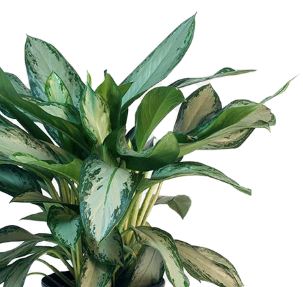 "6"" Aglaonema - Select"