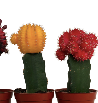 "3.25"" Assorted Cactus Greffe - Graft"