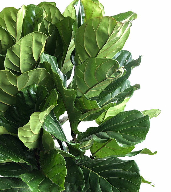 "14"" Ficus Lyrata Bush - Fiddle Leaf"