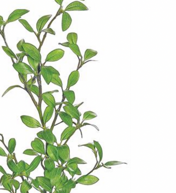 Privet Leaf Branch