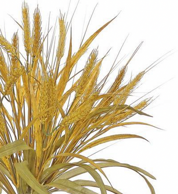 Gold Wheat Bush