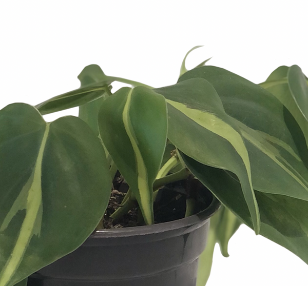 "4"" Philodendron Brazil"
