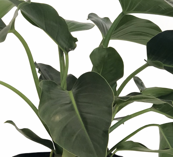 "10"" Philodendron Congo Green"