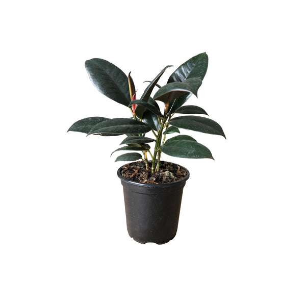 "4"" Ficus Elastica Burgandy - Select"