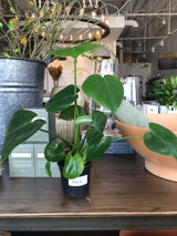 "4"" Philodendron Monstera"