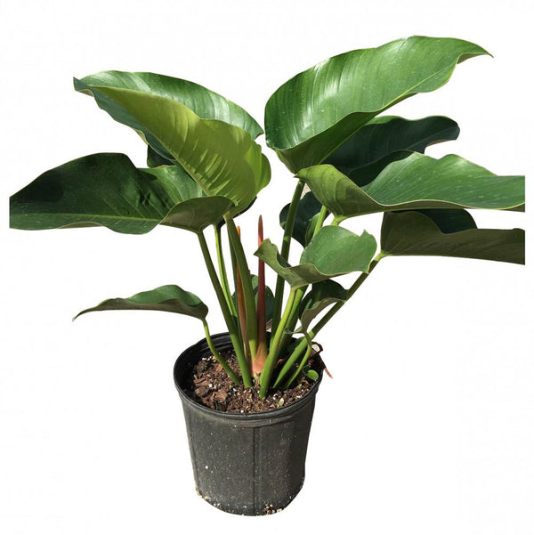 "14"" Philodendron Congo Green"