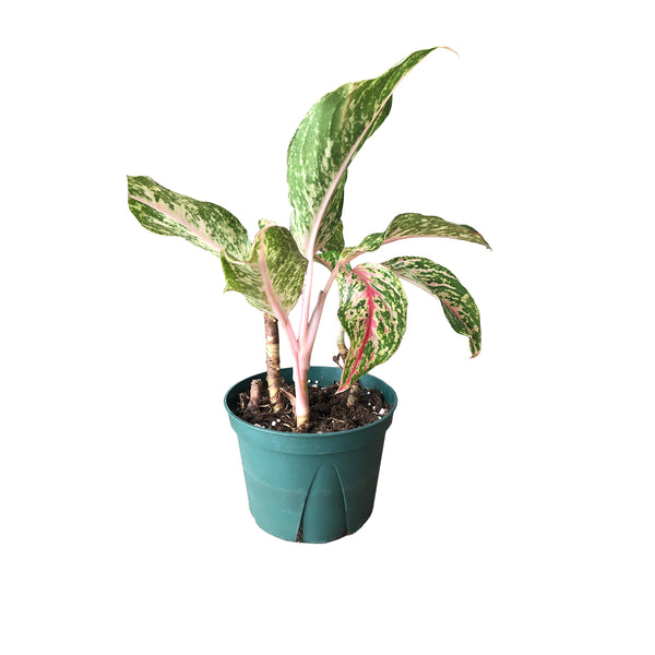 "6"" Aglaonema - Select (Pink)"