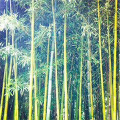 Focus on bamboo fabric